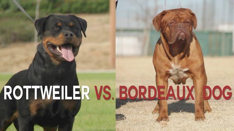 Rottweiler Puppies For Sale In Savannah Ga