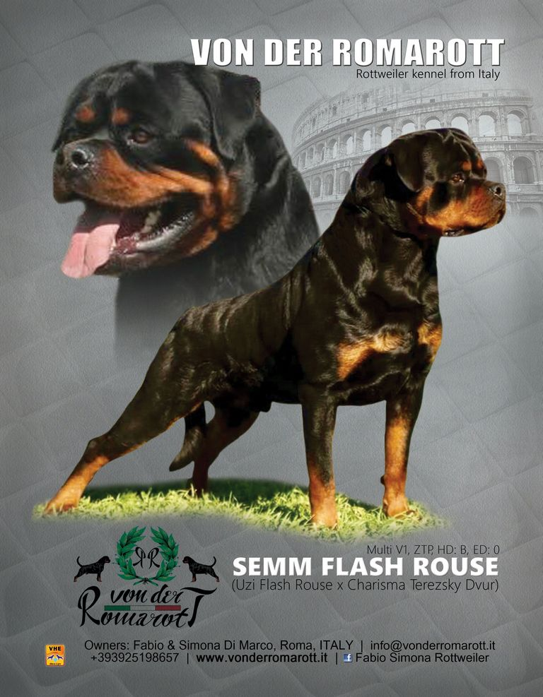 Rottweiler Puppies For Sale Lima Ohio