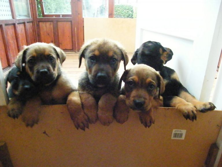 Rottweiler Puppies With Tails For Sale