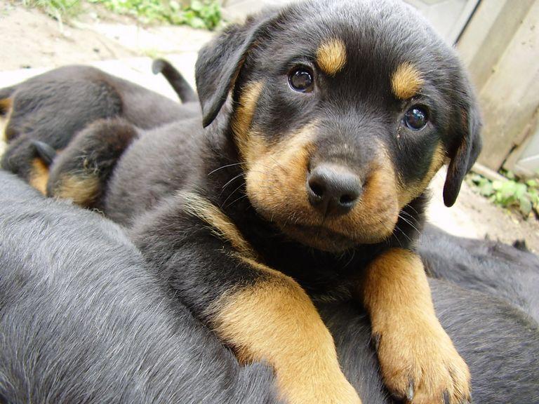 Rottweiler Rescue Texas