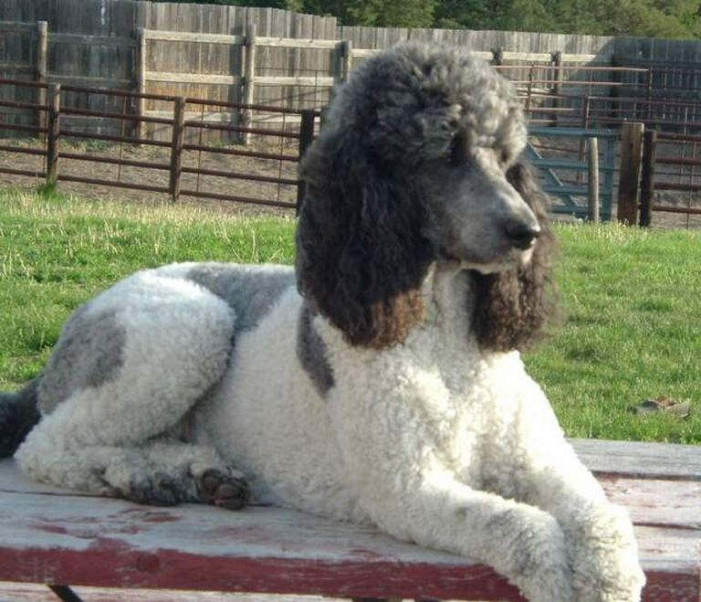 Royal Standard Poodles For Sale In Florida