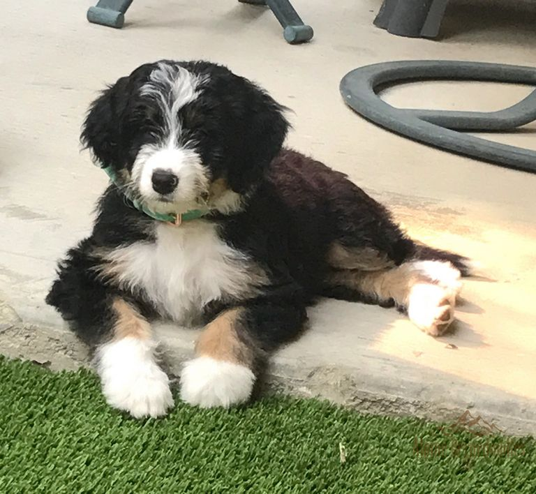 Royal Teacup Puppies For Sale