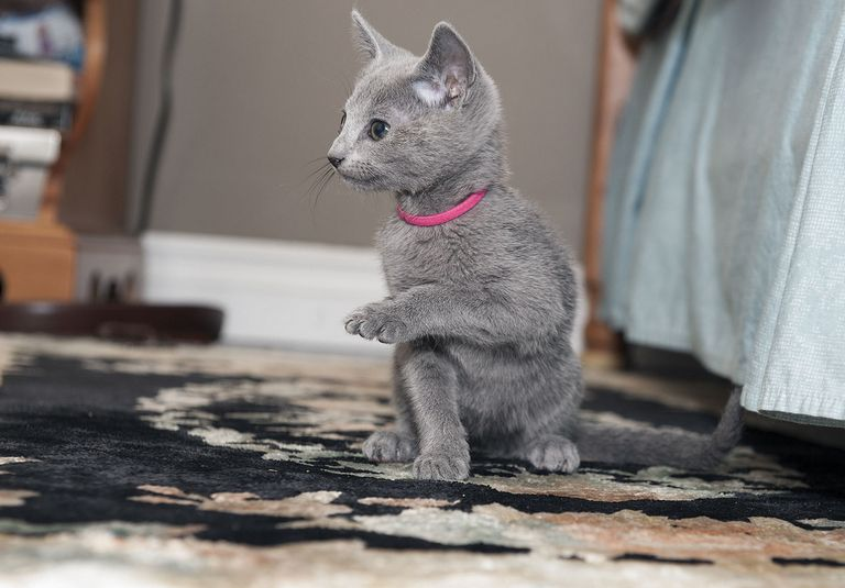 Russian Blue Kittens For Sale Craigslist | Top Dog Information
