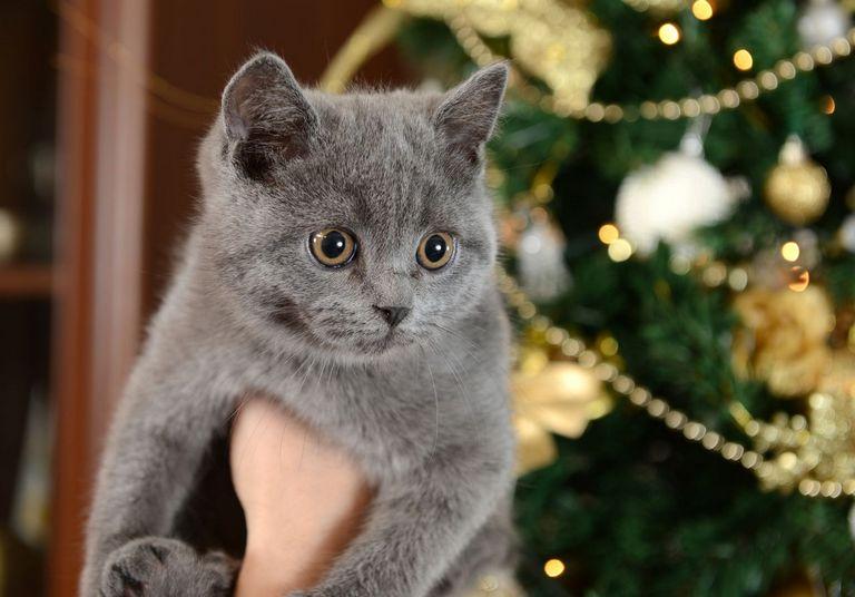 Russian Siberian Cat Breeders