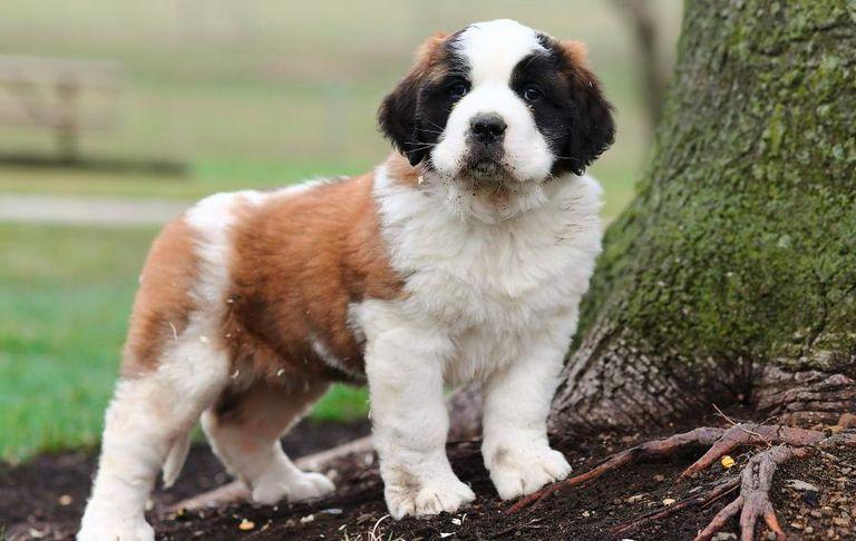 Saint Bernard Puppies For Sale Craigslist   Top Dog Information