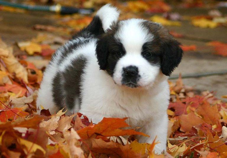 Saint Bernard Puppies For Sale In Houston