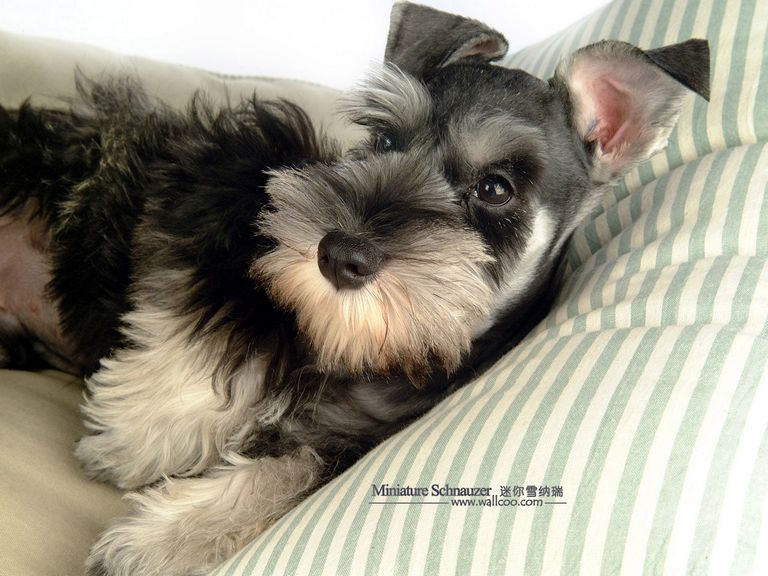 Salt And Pepper Standard Schnauzer Puppies For Sale