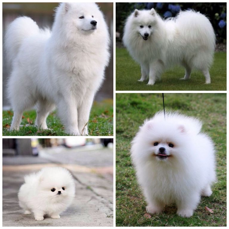 Samoyed Puppies For Sale California