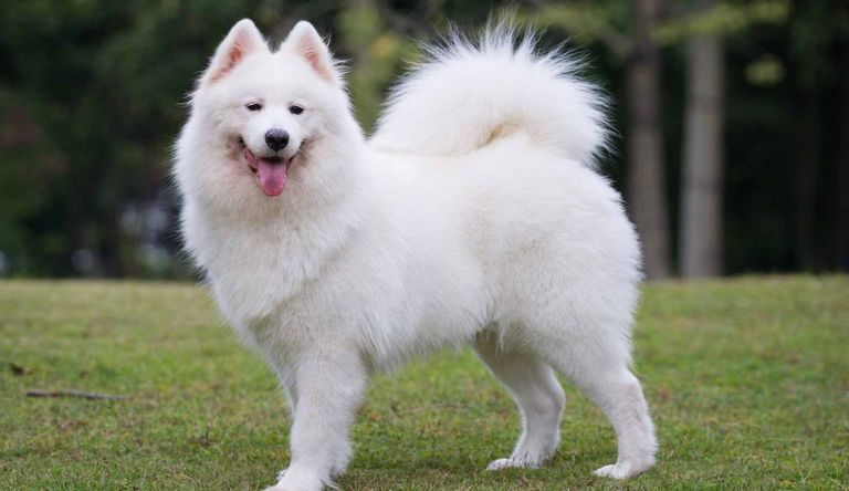 Samoyed Puppies For Sale Ny