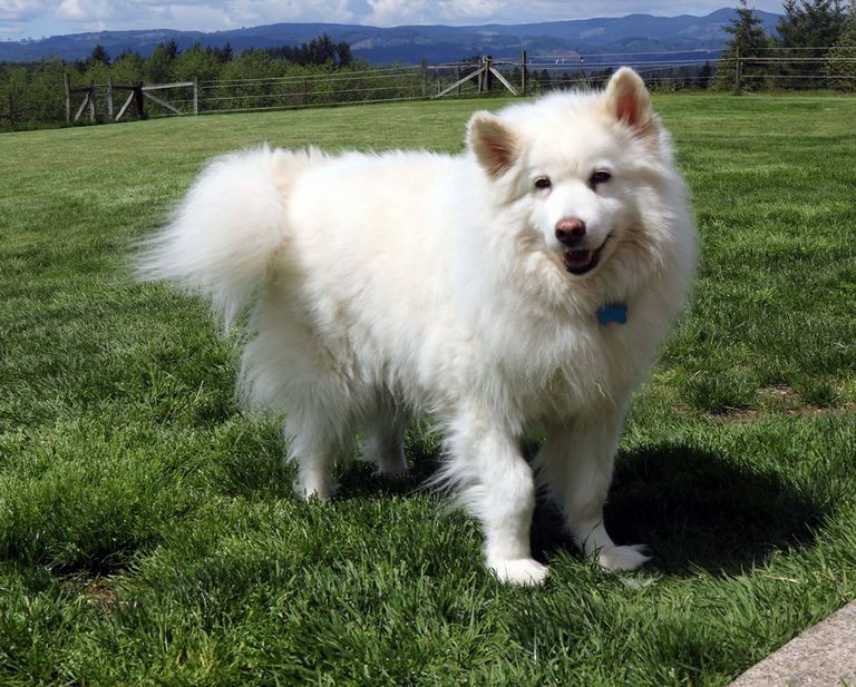 Samoyed Puppies For Sale Seattle