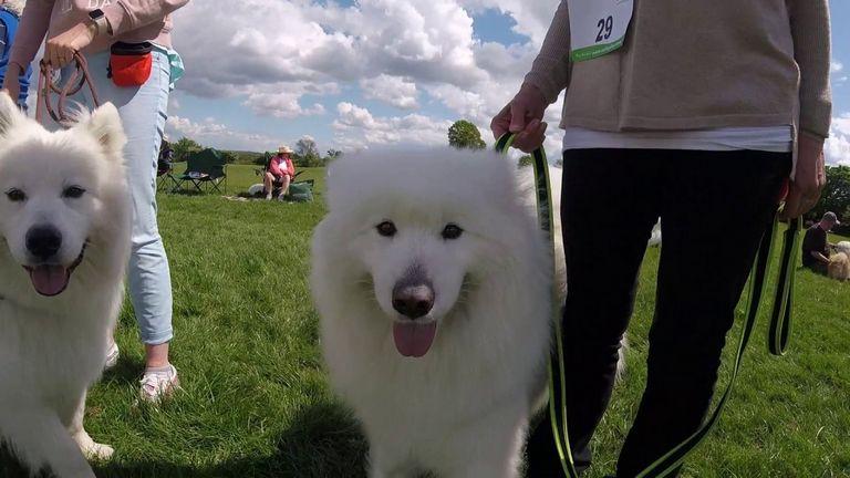 Samoyed Puppies Rescue