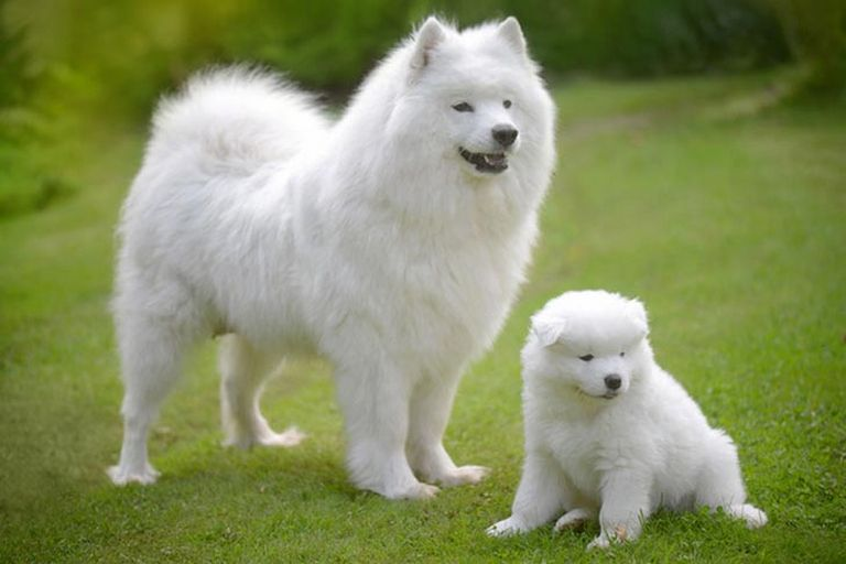 Samoyed Puppies Sacramento