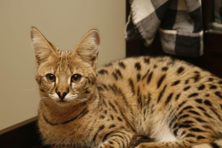 Savannah Cat For Sale Florida