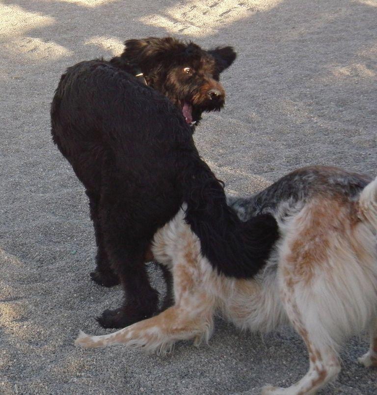 Schnoodle Puppies Ohio