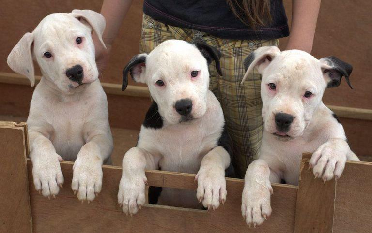 Scott American Bulldog Puppies For Sale