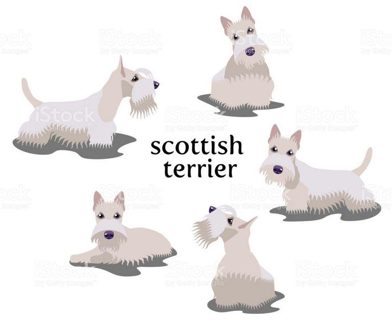 Scottish Terrier Breeders Scotland