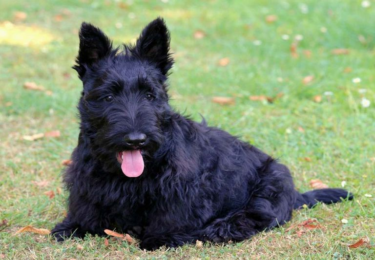Scottish Terrier Breeders Upstate Ny