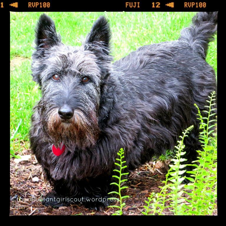 Scottish Terrier Puppies California
