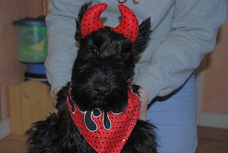 Scottish Terrier Puppies For Sale In Ky