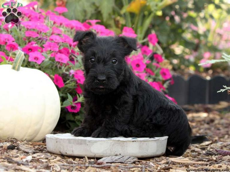 Scottish Terrier Puppies For Sale In Maryland