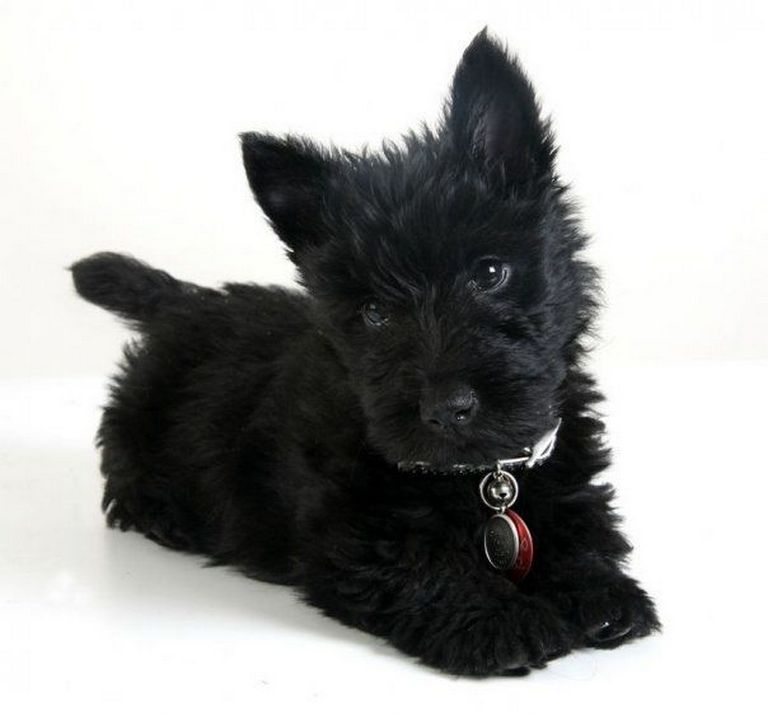 Scottish Terrier Puppies For Sale In Michigan