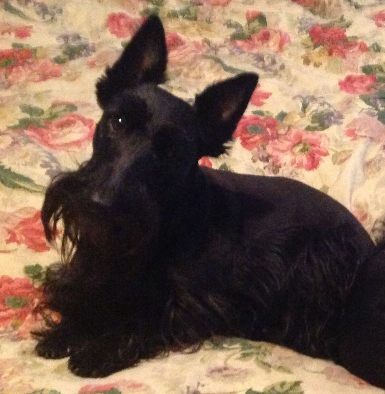 Scottish Terrier Puppies For Sale In Virginia