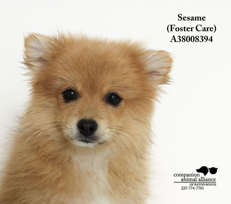 Sesame Shiba Inu Breeders