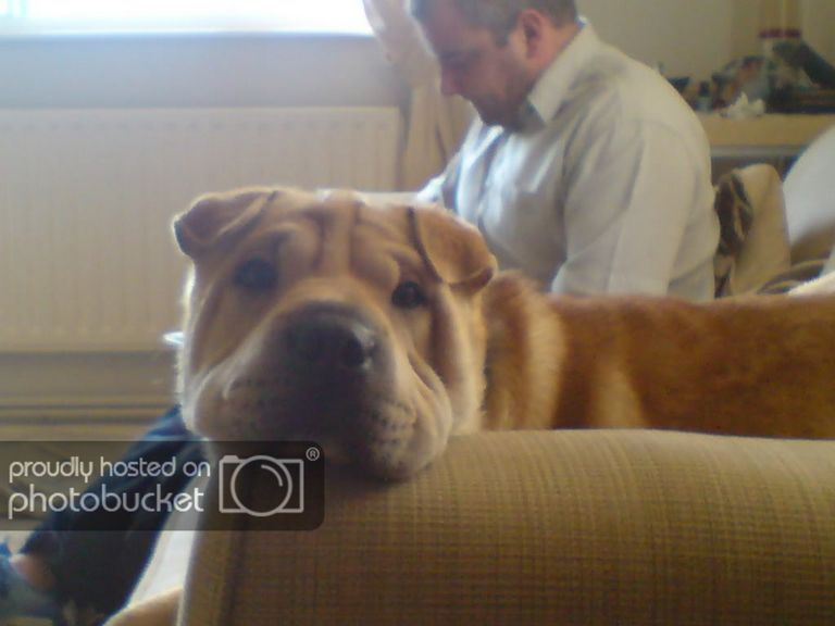 Shar Pei Puppies For Sale In Texas