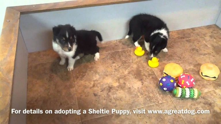 Sheltie Puppies For Sale In Sc