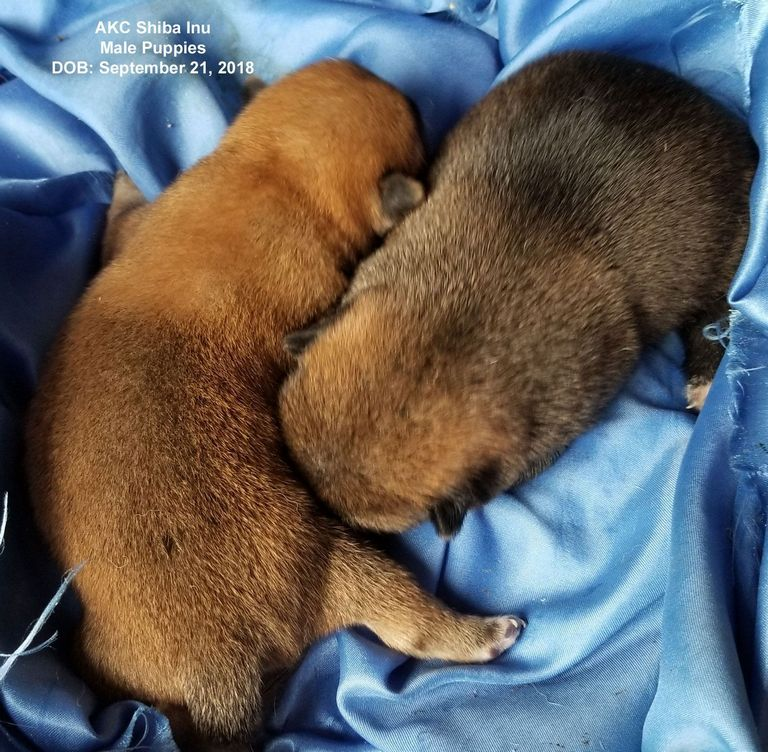 Shiba Inu Breeders Ct