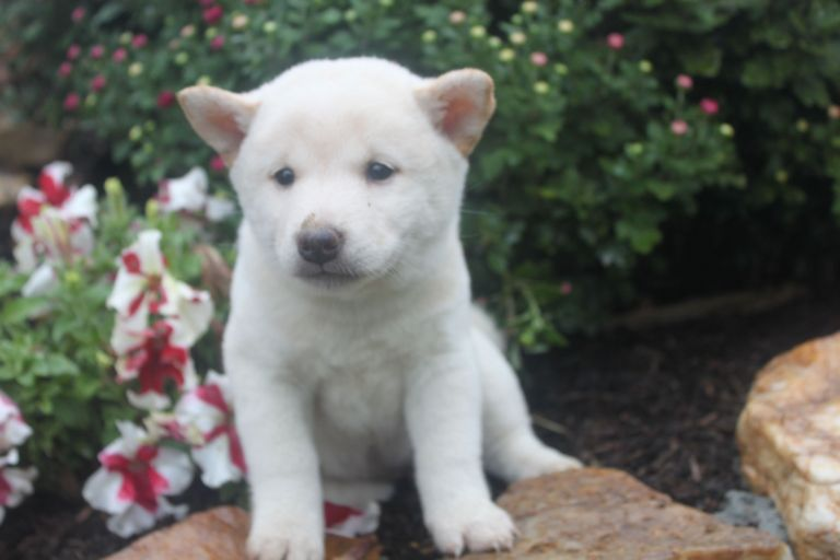 Shiba Inu Puppies For Sale In Pa