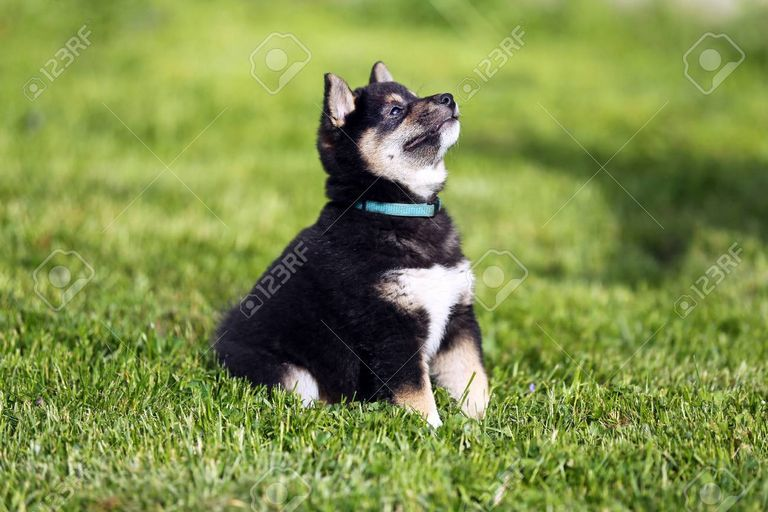 Shiba Inu Puppies For Sale Near Me