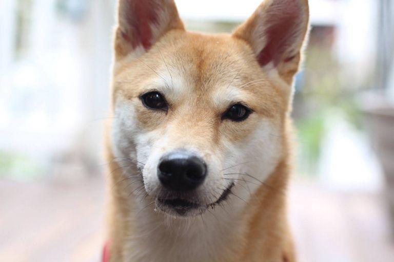 Shiba Inu Rescue Texas