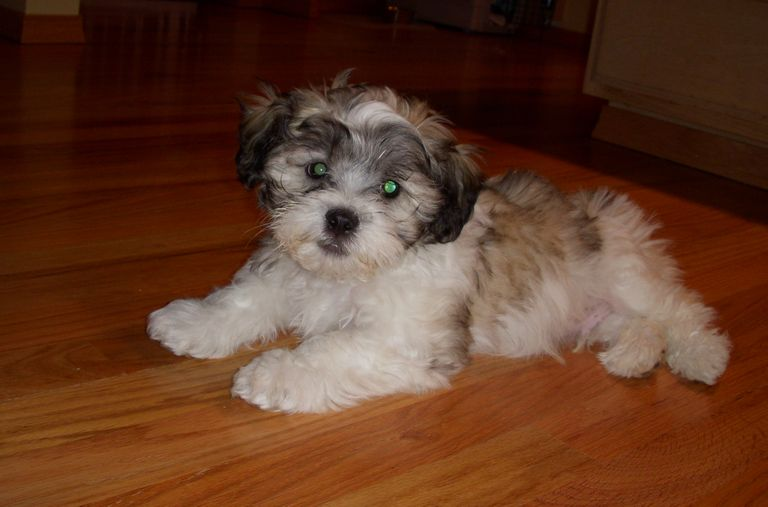 Shichon Puppies For Sale In Ky
