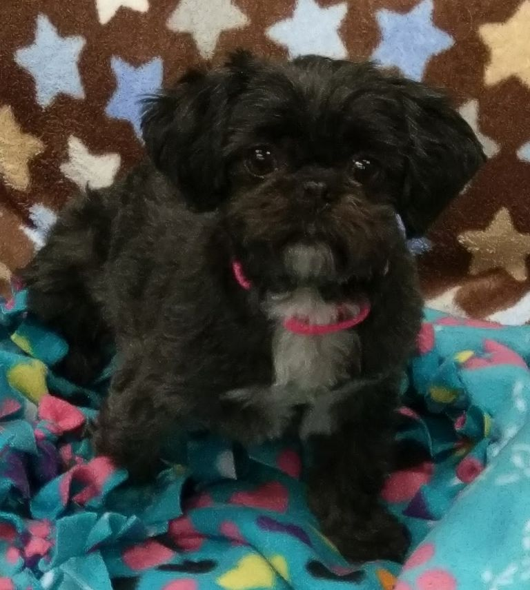 Shih Poo Puppies For Sale In Nc $200