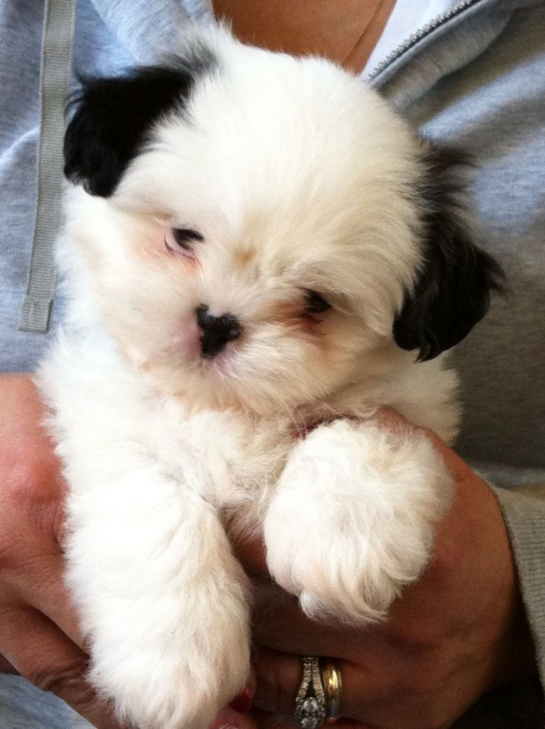 Shih Poo Puppies For Sale In Nc