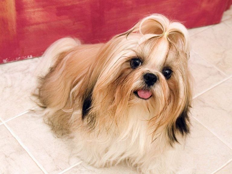 Shih Poo Puppies For Sale In Virginia Beach