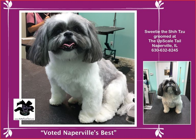 Shih Tzu Haircuts Before And After