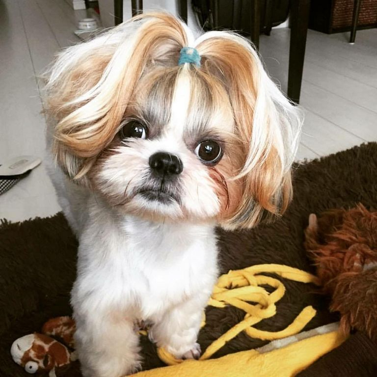 Shih Tzu Hairstyle For Female
