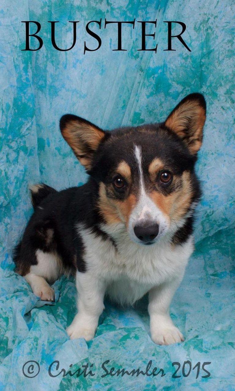 Shih Tzu Puppies For Sale In Chesterfield Va