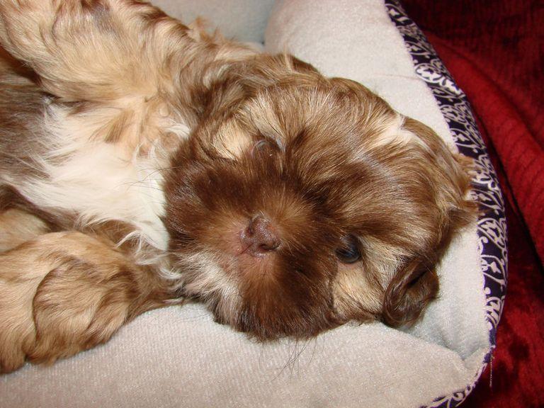 Shih Tzu Puppies For Sale In Lake Charles La