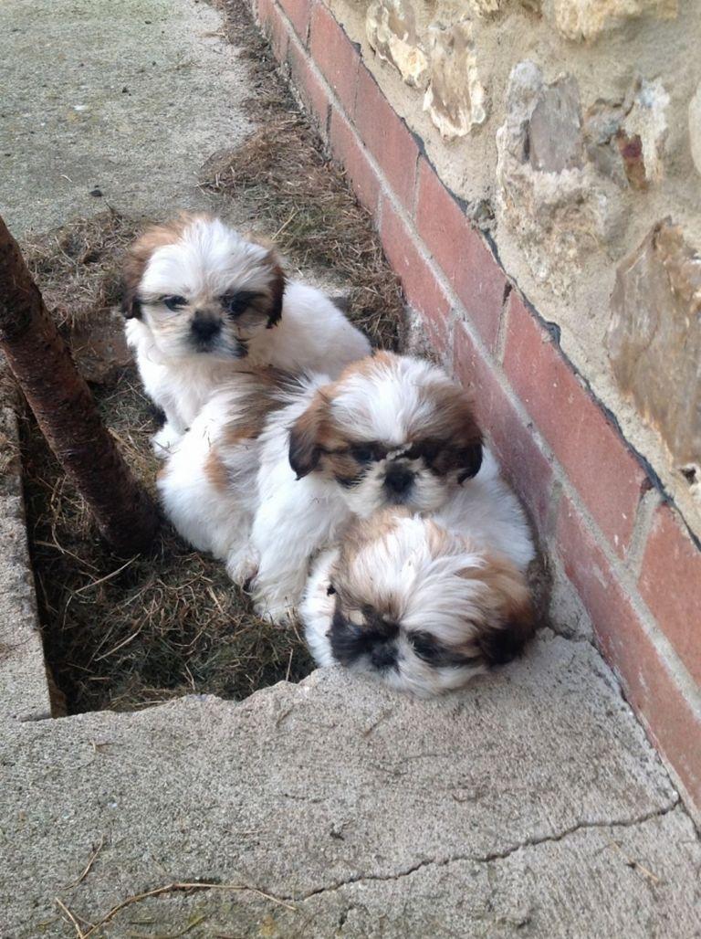 Shih Tzu Puppies For Sale In Muncie Indiana