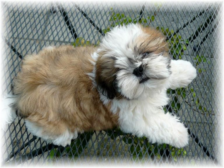Shih Tzu Puppies For Sale In Sc