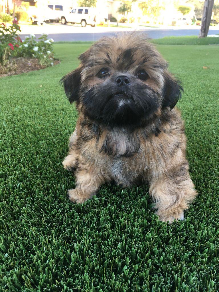Shih Tzu Puppies Southern California | Top Dog Information