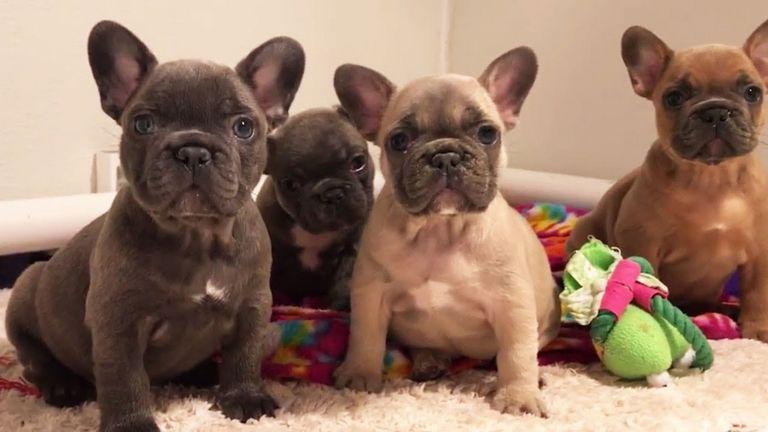 Shirley's French Bulldogs