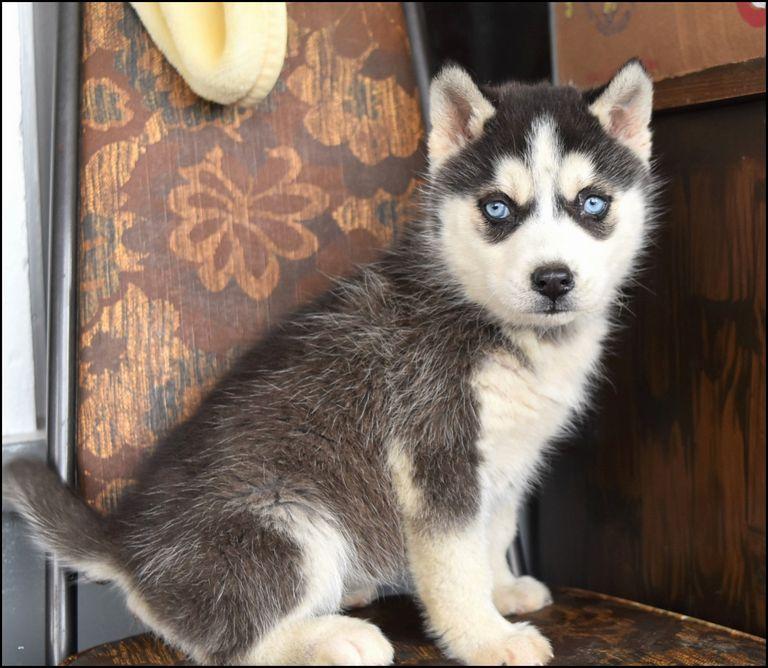 Siberian Cat For Sale Nc