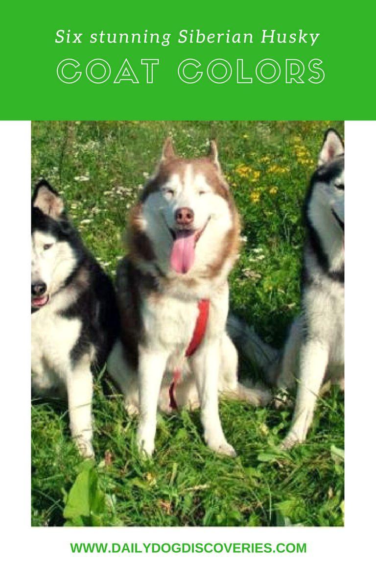 Siberian Husky Colors
