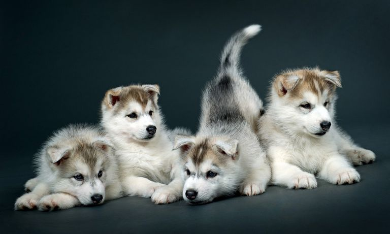 Siberian Husky German Shepherd Mix Puppies For Adoption Near Me