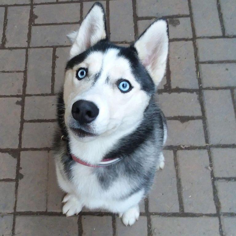 Siberian Husky Puppies For Sale Ohio