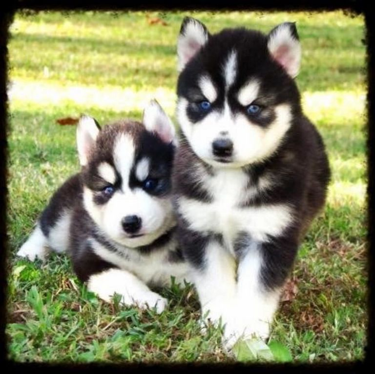Siberian Husky Puppies Mn